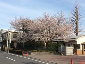 二高正門前の桜