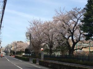 二高バス通りの桜