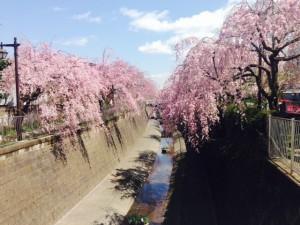 妙正寺川 しだれ桜①