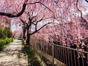妙正寺川 しだれ桜②