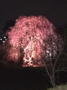 しだれ桜 ライトアップ